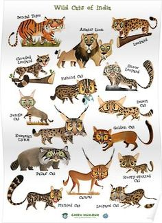 These stunning wild cat posters are great for learning (and admiring!) all the beautiful wild cat species in the cat family Felidae - big cats and small cats. Wild Cat Species, Animal Species, Wild Cat Breeds, Clouded Leopard, Leopard Cat, Cat Posters, Animal Posters, Big Cat Family, Animals And Pets