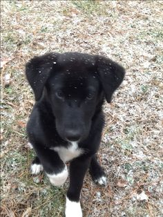 Black Lab Border Collie mix.  I have one and she is the best dog ever!  I wouldn't want any other breed of dog! Puppy Mix, Lab Mix Puppies, Mix Breed Dogs, Labrador Mix, Black Labrador Retriever, Retriever Puppies, Border Collie Mix Puppies, Border Collies, Husky Lab Mixes
