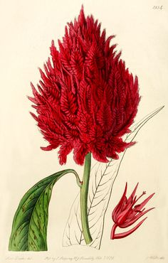 Celosia cristata var. coccinea: as C. coccinea, Bot. Reg 1834 (1836)