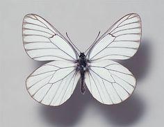 エゾシロチョウ標本