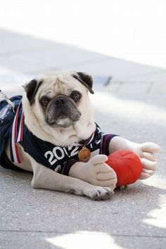 Olympic Flaired Pug!! @Erika Ross  - If the pug can do it, we def can.