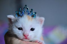 All hail the Princess Kitten (by julochka on Flickr) so cute…*faint*