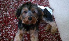 my #yorkiepoo #dogs #cute snickers