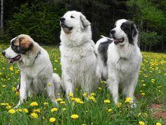 Klikněte k uzavření Mountain Dogs, Animals, Bohemia, Pictures, Animales, Animaux, Animal, Animais