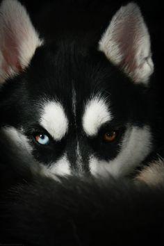 Husky Siberian Huskies Dogs Puppy Hound Pups Dog Puppies