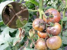 Late Blight (Phytophthora infestans) Fungus On Tomatoes - The Plant Guide Culture Tomate, Plant Guide, Fungi, Horticulture, Vegetable Garden, Planters, Home And Garden, Gardening, Vegetables