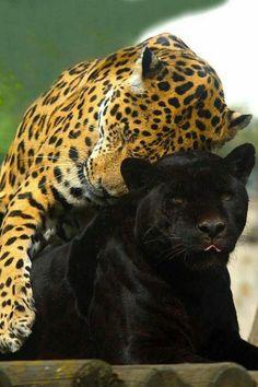 Jaguar love...