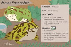 Pacman frogs have become popular partly due to their fun name, but they are also colorful and easy to care for. Frog Tank, Pacman Frog, Iguana Pet, Pet Frogs, Small Frog, Frog And Toad, Frog Frog, Reptiles And Amphibians, Cool Names