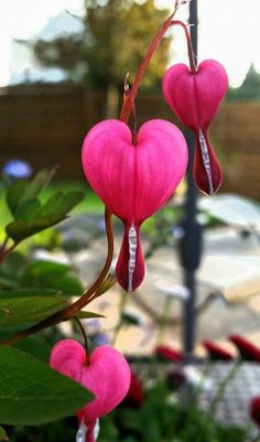 Flor Heart In Nature, Vegetables, Pink, Hearts, Flowers, Rose, Vegetable Recipes, Veggies, Roses