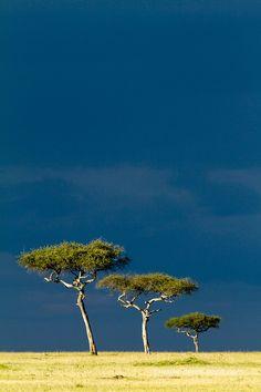 Acacia Trees - Kenya, Africa