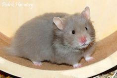 Podrik Hamstery - Leijonas Sugar Pumpkin
