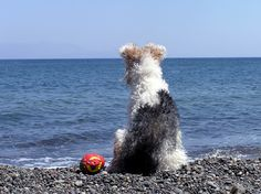 Wire Fox Terrier dog on Whitby Beach Yorkshire. Perro Fox Terrier, Wirehaired Fox Terrier, Welsh Terrier, Airedale Terrier, Wire Fox Terriers, I Love Dogs, Cute Dogs, Animals And Pets, Cute Animals