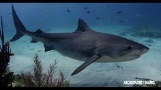 SHARK DREAM - ANDY BRANDY CASAGRANDE IV - WWW.ABC4EXPLORE.COM