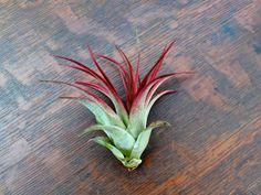 Current Ionantha fuego air plants are smaller and around 2 inches. They are mostly green with some red and starting to blush. These plants will need very bright light to continue to blush red and main