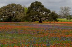 2014 Gorgeous fields of wildflowers between Lake Somerville State Park and Washington-on-the-Brazos State Historic Site. Take 390 from Burton to SH105 near Washington-on-the-Brazos #wildflowers