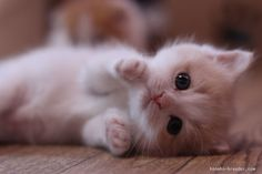 Want more cute kittens? Click the photo for more! Cute Kittens, Pretty Cats, Beautiful Cats, Animals Beautiful, Beautiful Women, Cute Baby Animals, Animals And Pets, Wild Animals, Cute Cat Gif