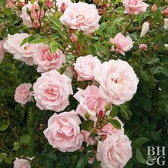 Gardening Roses Treat climbing flowers and garden roses that bloom only once per year the same as other spring-blooming shrubs: Pruning after they finish blooming. Pruning Shrubs, Pruning Fruit Trees, Types Of Hydrangeas, Types Of Roses, Fragrant Roses, Shrub Roses, When To Prune Roses, How To Plant Roses, Rose Varieties