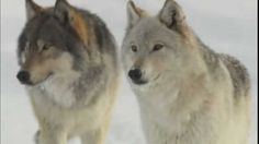 """The Imperiled American Wolf~  Since President Obama removed the gray wolf from the endangered species list in April 2011 and turned management of these majestic animals over to state wildlife agencies, 1,500 wolves have been senselessly slaughtered by sport hunters and trappers alone in Idaho, Montana, Wyoming, Minnesota and Wisconsin. This """"kill tally"""" does not include the scores of wolves slaughtered by federal and state predator control programs. And the killing has just begun."""