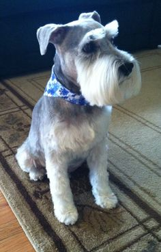 What an adorable little mini schnauzer