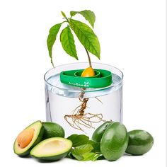 AvoSeedo Avocado Tree Growing Kit - Practical Gardening Gifts for Women, Mom, Sister & Best Friend /Grow Avocado Plant Indoor with Unusual Pit Grower Boat /Kitchen Garden Seed Starter Gift Growing An Avocado Tree, Growing Tree, Growing Plants, Ficus, La Germination, Tree Planters, Grow Kit, Garden Seeds, Veg Garden
