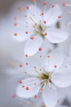 Ume, Kirschpflaume, Cherry plum viele Namen für eine Bach-Blüte, die hilft, wenn der innere Druck steigt