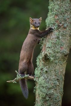 American Pine Marten Climbing up the rigging? Nature Animals, Animals And Pets, Baby Animals, Funny Animals, Cute Animals, Wild Animals, Wild Photography, Wildlife Photography, Mundo Animal