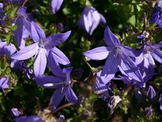 Zur Unterpflanzung im Kübel. Hängepolster-Glockenblume - Campanula poscharskyana