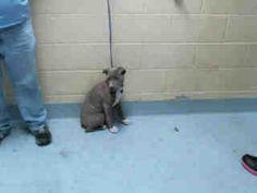 TulsaArea TornadoPets - (Tulsa Animal Welfare) Female blue pit mix found 3/26 #A076495