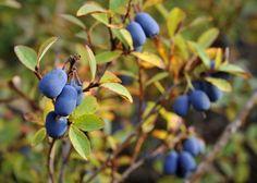 Juolukka | Vaccinium uliginosum | Bog bilberry/bog whortleberry/bog blueberry