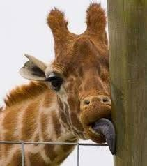"""Someone told this giraffe that this is an Ice-Cream Stick. """"Hey, where did the Ice-cream go? Cute Funny Animals, Cute Baby Animals, Animals And Pets, Giraffe Pictures, Animal Pictures, Giraffe Images, Beautiful Creatures, Animals Beautiful, Okapi"""