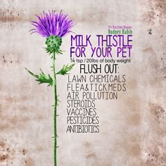 Let me introduce you to one of my top 5 most important herbs that needs to be in your pet's life, if it isn't already!   Milk thistle!  This herb has been used for over 2,000 years to help fix a zillion different problems!  Recently, scientists from the Radiological Physics and Advisory Division in India found in their study on milk thistle that silibinin, found in milk thistle, programmed cell death in breast cancer.