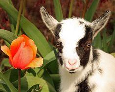Nigerian Dwarf Goat by AppleBlossom12, via Flickr