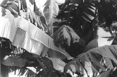 """Banana Leaves"", Photo by Harriet Blum.  I shot this photo in New Orleans,LA.  These banana plants were right outside my back porch.  So beautiful."