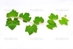afbeelding druivenbladeren - Google zoeken