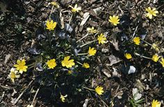 RHS Plant Selector Ranunculus ficaria 'Brazen Hussy' / RHS Gardening