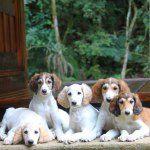 Salatino Noiva de Copacabana     #Saluki #Salatino #Dogs #dog #perro #cao #cachorro #animals #animales #animais #cute #love #baby