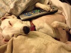 Finally found the TV remote. Tiger Lilly, Grey Hound Dog, Whippets, Greyhounds, Four Legged, Tigger, Remote, I Am Awesome, Best Friends