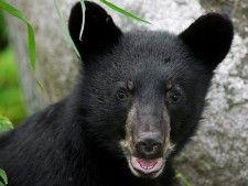 RC's cub
