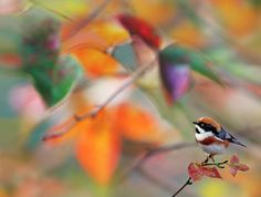 https://flic.kr/p/b5mjsK | # 752 紅頭楓幻 | 80 x 105 cm  Dear Flickr friends, you are very welcome to hear  some of my piano composition .  紅頭山雀.攝於台灣 台中縣 大雪山林道 Red-headed Tit, taken at DaSyueShan Trail, Taichung County, TAIWAN