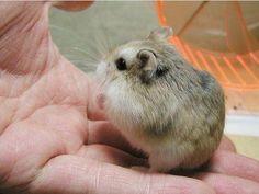 bicho mais fofo do mundo-hamster anão