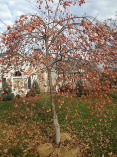 Kaki Rosseyanka rezista pana la - 25 grade Zone 4 Perennials, Cornus Mas, Early Spring Flowers, Small White Flowers, Vase Shapes, Water Spray, Types Of Soil, Growing Tree, Small Trees