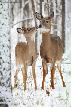 Whitetail Deer mammals 30 Happiest Facts Ever Nature Animals, Animals And Pets, Baby Animals, Cute Animals, Wild Animals, Animals In Snow, Baby Cats, Funny Animals, Beautiful Creatures