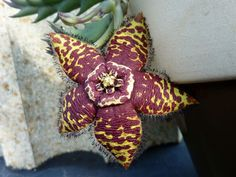 Orbea semota - See more at: http://worldofsucculents.com/orbea-semota