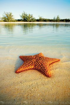 Cushion sea star in the shallows at low tide on the beach #starfish #photography