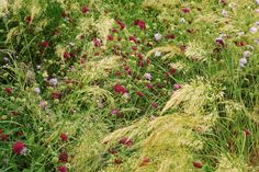 Silvergräs, Stipa calamagrostis 'Lemperz', grekvädd, Knautia macedonica och åkervädd, Knautia arvensis