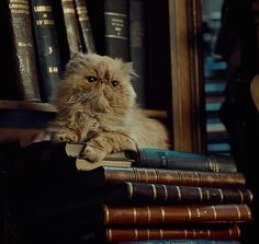 Hermione's Cat Crookshanks  in the library  <3