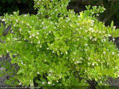 Ligustrum obtusifolium  'Dart's Elite' . Avec très beau feuillage d'automne.  Haut 80cm
