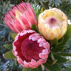Pink mink protea proteas and leucadendrons flowers by category swallows nest farm february flowers mightylinksfo