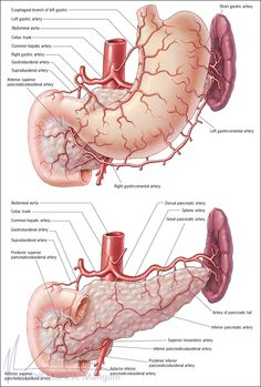 Ideas For How To Study Anatomy And Physiology Muscle Gross Anatomy, Human Body Anatomy, Human Anatomy And Physiology, Muscle Anatomy, Medicine Notes, Medicine Student, Medicine Doctor, How To Study Anatomy, Arteries Anatomy