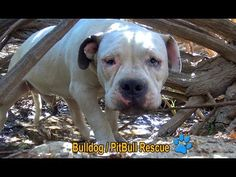 Homeless Pit Bull Who Lived on the Side of a Highway Couldn't Trust Anyone — Until Rescues Stepped In (VIDEO) | One Green Planet